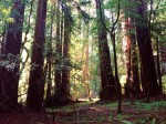 Coastal Redwoods--Muir Woods